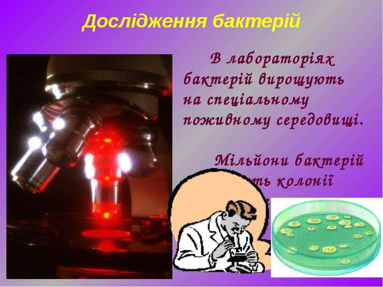 В лабораторіях бактерій вирощують наспеціальному поживному середовищі. Мільй...