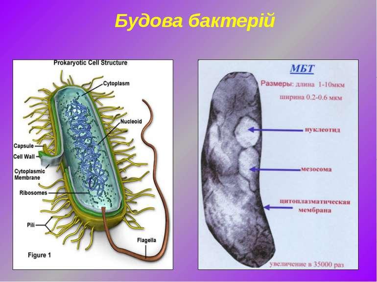 Будова бактерій