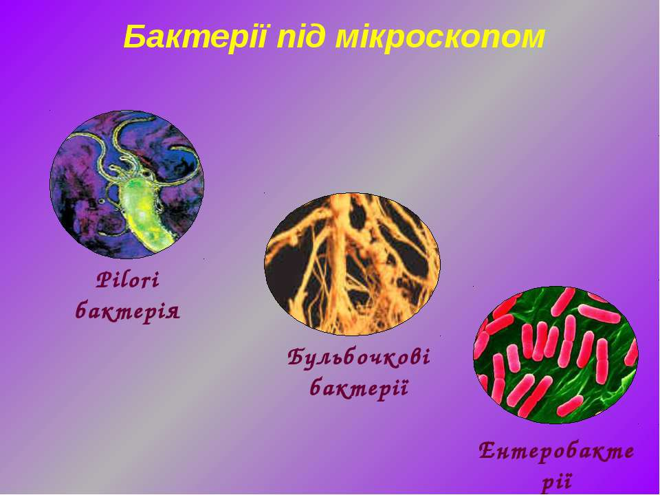 Бактерії під мікроскопом Ентеробактерії Бульбочкові бактерії Pilori бактерія