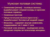 Мужская половая система: Семенники (яички) – половые железы, вырабатывают спе...