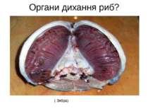 Органи дихання риб? ( Зябра)