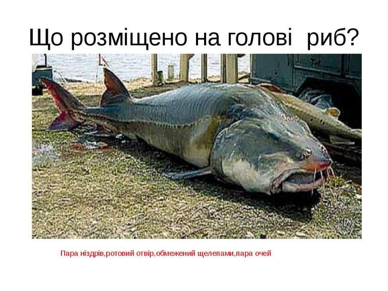 Що розміщено на голові риб? Пара ніздрів,ротовий отвір,обмежений щелепами,пар...