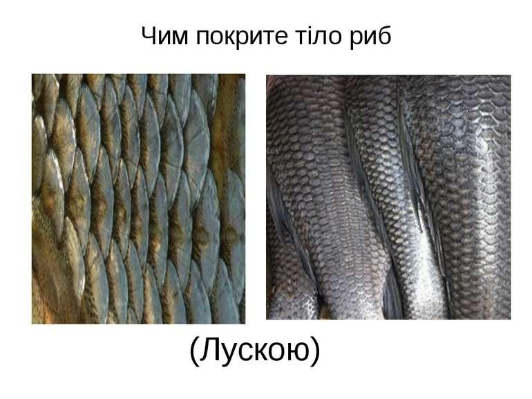 Чим покрите тіло риб (Лускою)