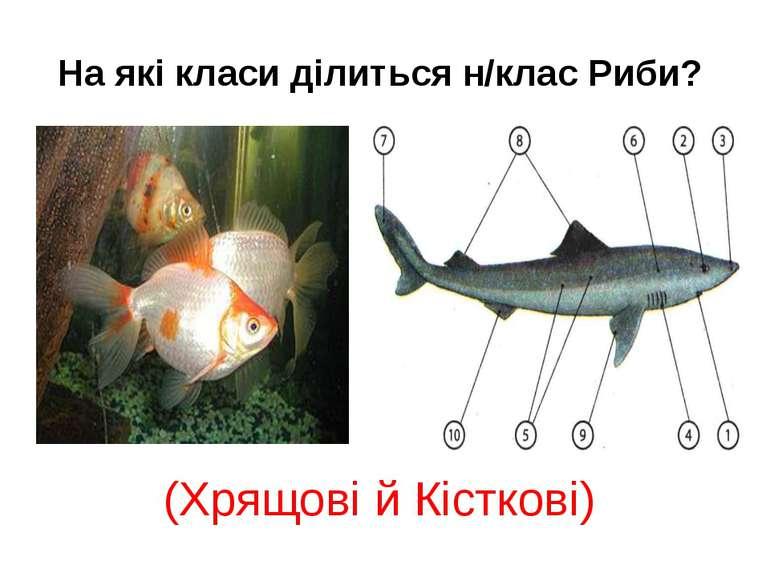 На які класи ділиться н/клас Риби? (Хрящові й Кісткові)