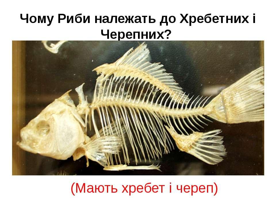 Чому Риби належать до Хребетних і Черепних? (Мають хребет і череп)