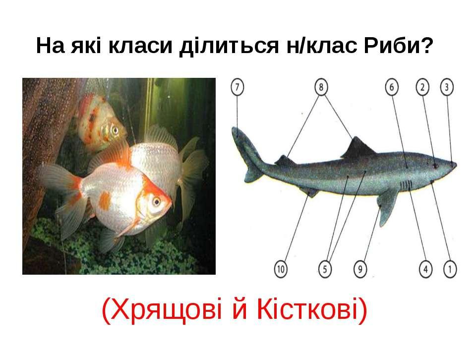 Риби? (Хрящові й Кісткові)