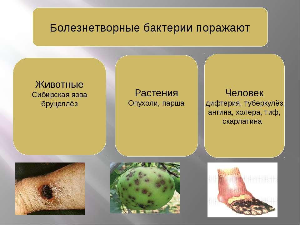 Болезнетворные бактерии поражают Животные Сибирская язва бруцеллёз Человек ди...