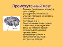 Промежуточный мозг Таламус (зрительные холмы) и гипоталамус (поздзрительнохол...