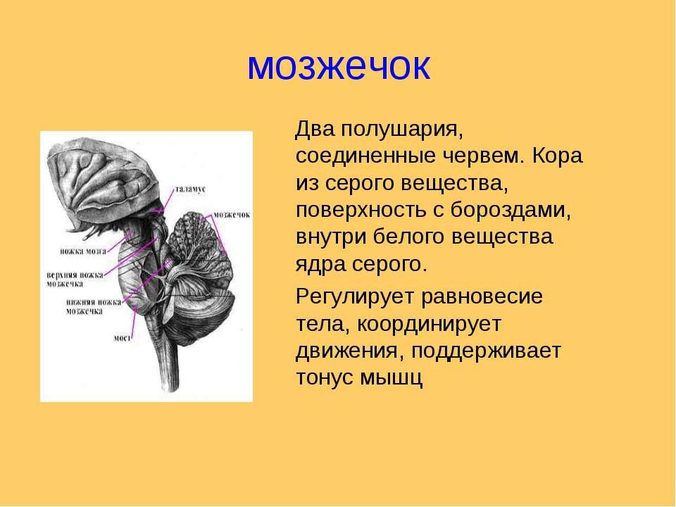 мозжечок Два полушария, соединенные червем. Кора из серого вещества, поверхно...
