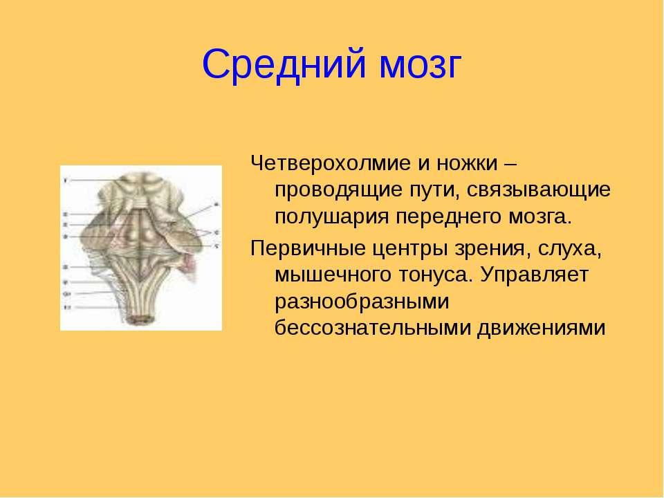 Средний мозг Четверохолмие и ножки – проводящие пути, связывающие полушария п...