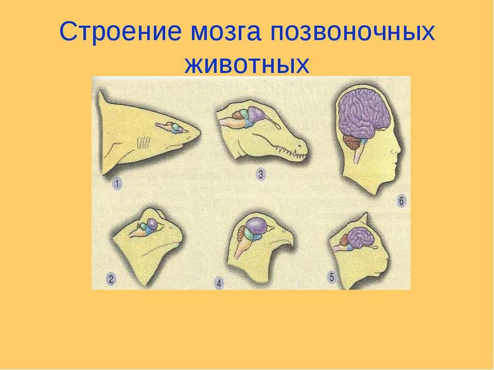 Строение мозга позвоночных животных