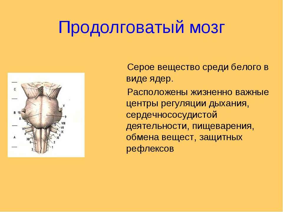 Продолговатый мозг Серое вещество среди белого в виде ядер. Расположены жизне...