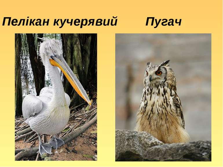 Пелікан кучерявий Пугач