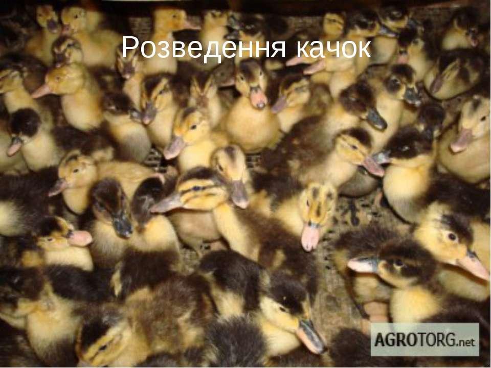 Розведення качок