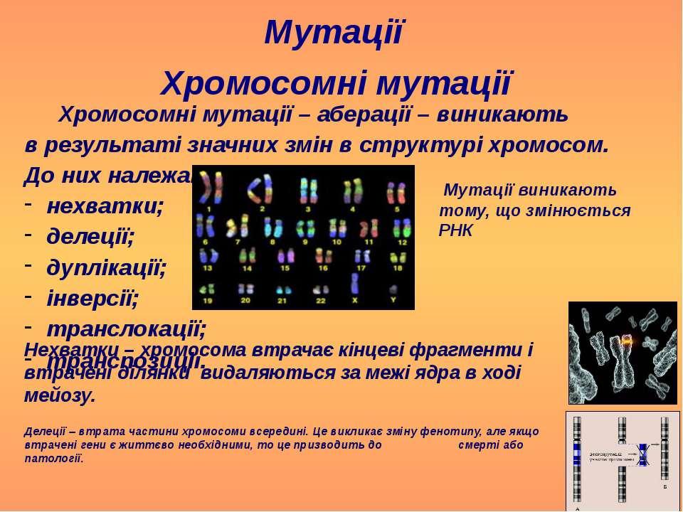Мутації Хромосомні мутації Хромосомні мутації – аберації – виникають в резуль...