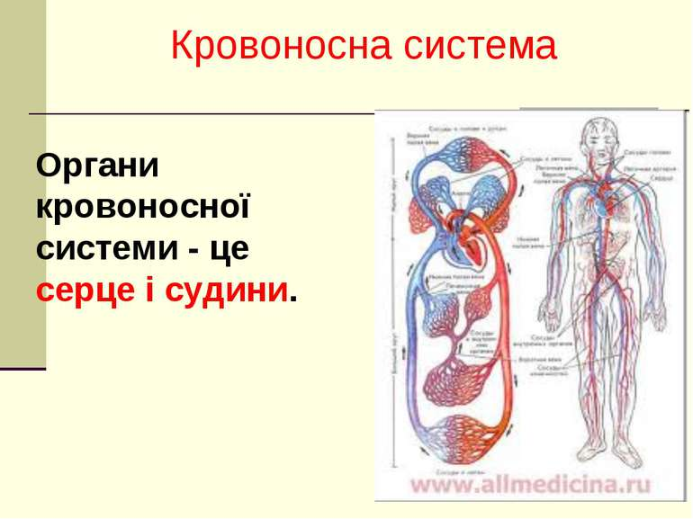 що не входить до складу кровоносної системи прямому протоколу что