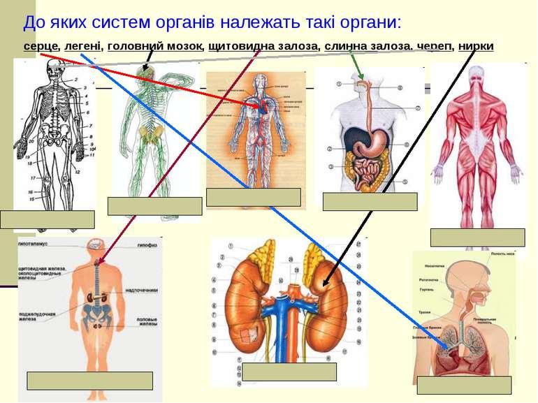 До яких систем органів належать такі органи: серце, легені, головний мозок, щ...