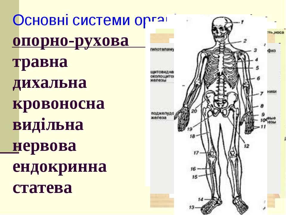 Основні системи органів тварин: опорно-рухова травна дихальна кровоносна виді...
