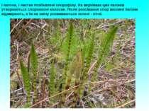 І пагони, і листки позбавлені хлорофілу. На верхівках цих пагонів утворюються...