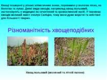 Різноманітність хвощеподібних Хвощі поширені у різних кліматичних зонах, пере...