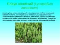 Плаун колючий (Lycopodium annotinum) Багаторічна вічнозелена трав'я ниста рос...