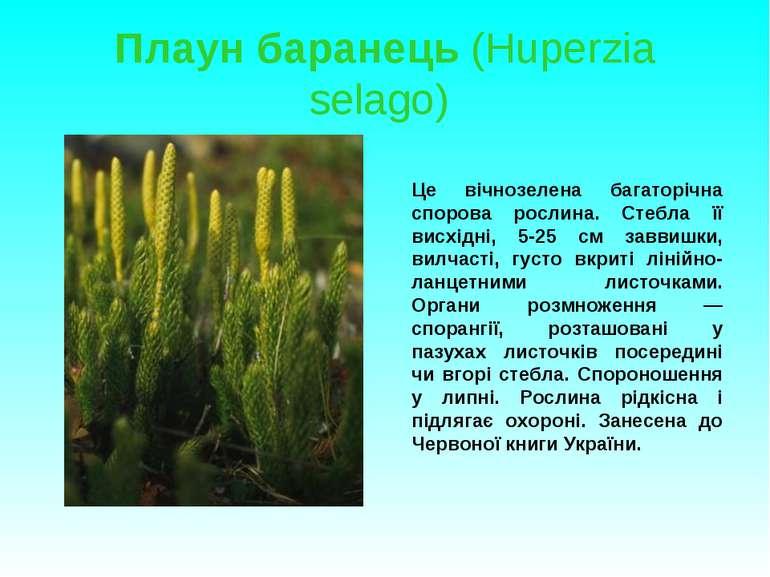 Плаун баранець (Huperzia selago) Це вічнозелена багаторічна спорова рослина. ...