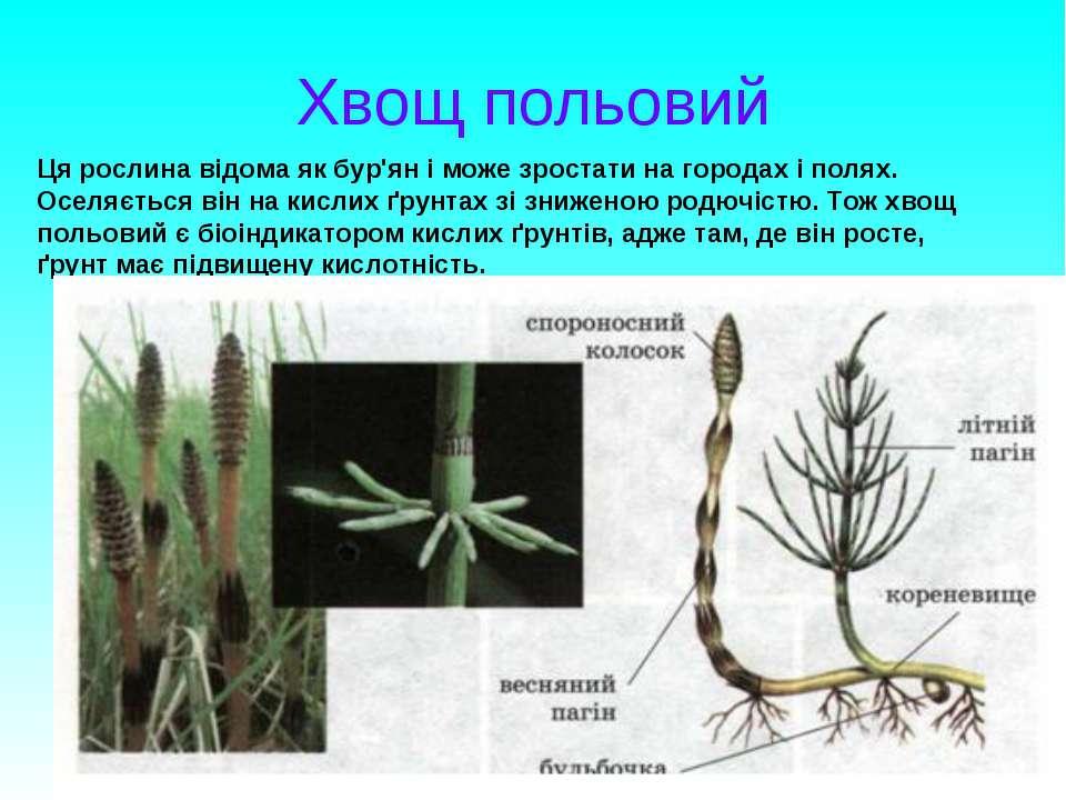 Хвощ польовий Ця рослина відома як бур'ян і може зростати на городах і полях....