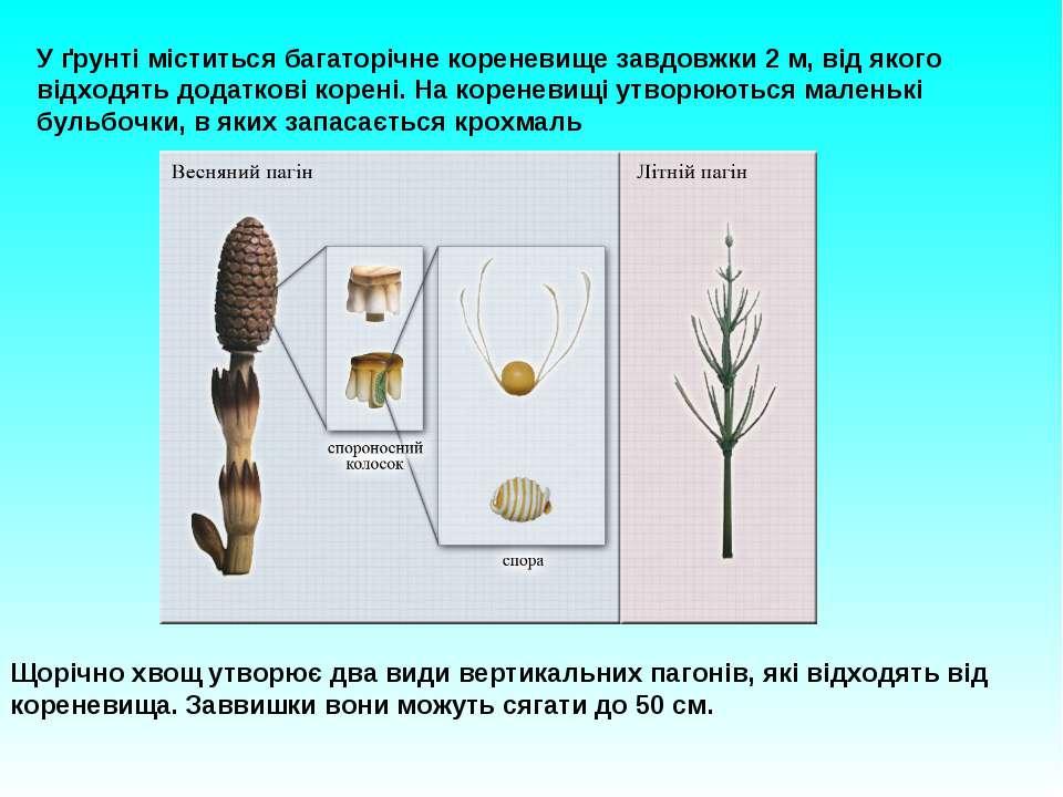 У ґрунті міститься багаторічне кореневище завдовжки 2 м, від якого відходять ...