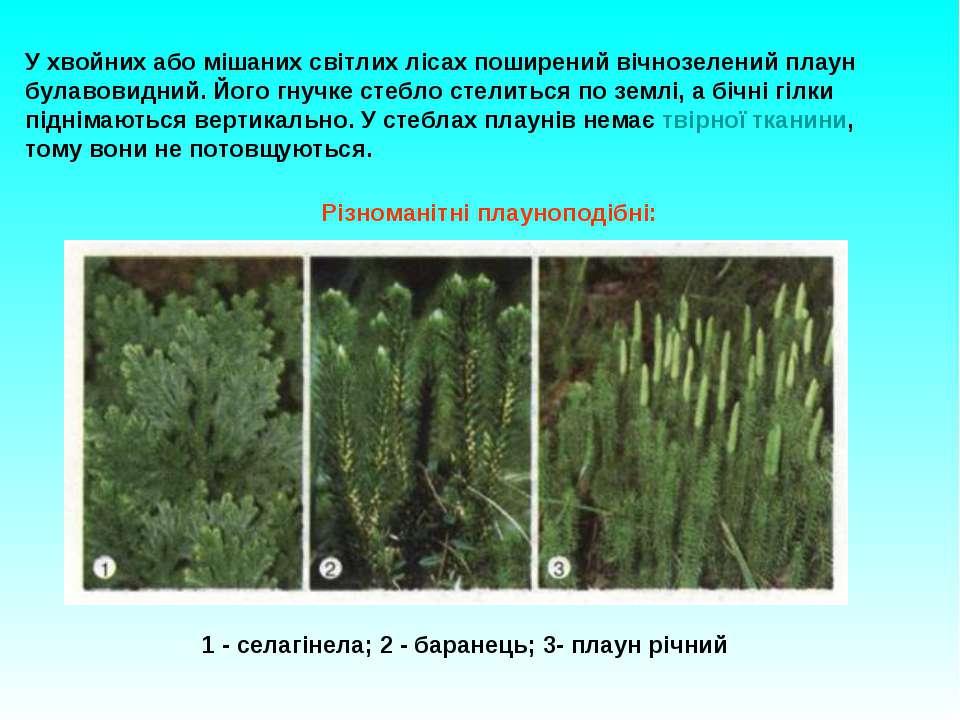 У хвойних або мішаних світлих лісах поширений вічнозелений плаун булавовидний...