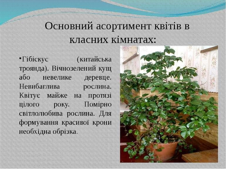 Гібіскус (китайська троянда). Вічнозелений кущ або невелике деревце. Невибагл...