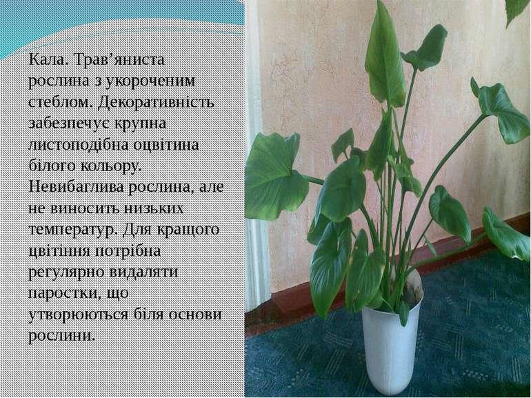 Кала. Трав'яниста рослина з укороченим стеблом. Декоративність забезпечує кру...