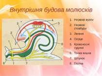 Внутрішня будова молюсків Нервові вузли Нервові стовбури Легеня Серце Кровоно...