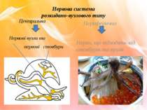 Нервова система розкидано-вузлового типу Центральна Нервові вузли та нервові ...