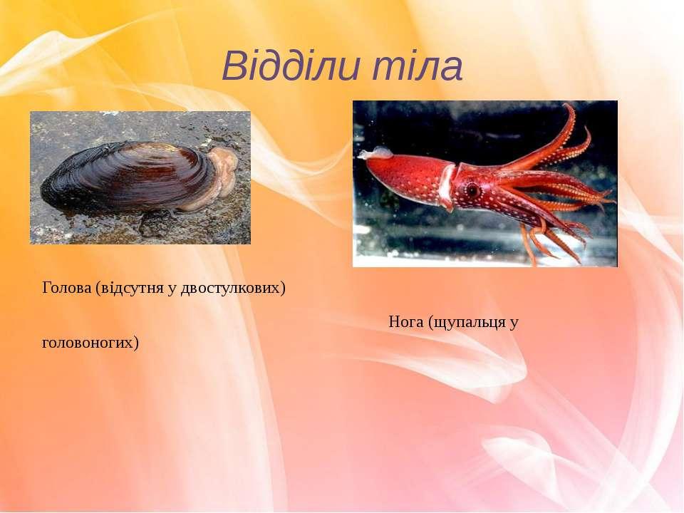 Відділи тіла Голова (відсутня у двостулкових) Нога (щупальця у головоногих)