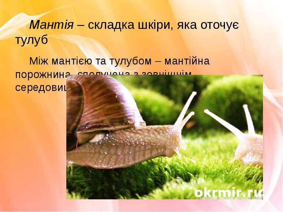 Мантія – складка шкіри, яка оточує тулуб Між мантією та тулубом – мантійна по...