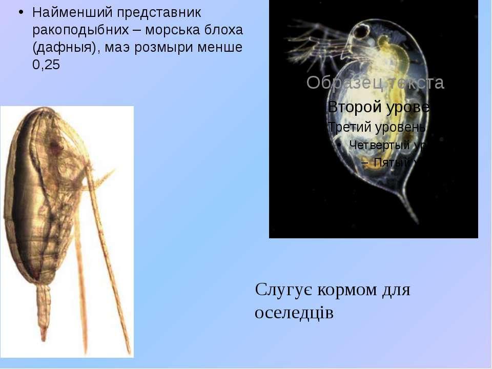 Найменший представник ракоподыбних – морська блоха (дафныя), маэ розмыри менш...