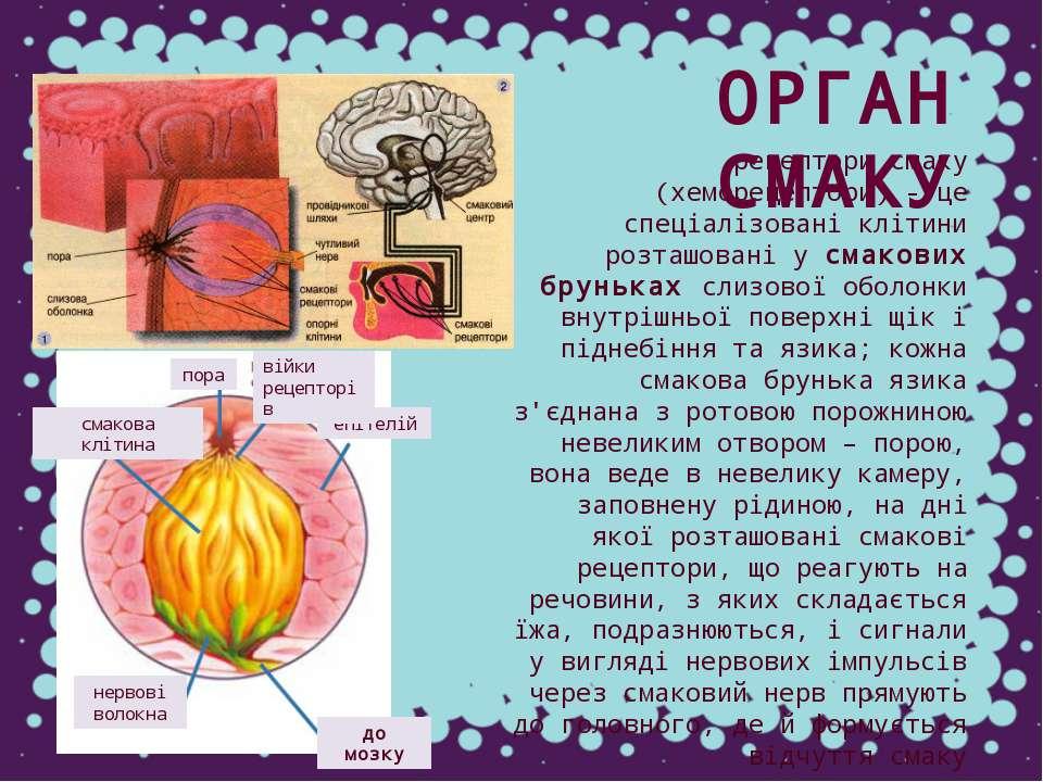 рецептори смаку (хеморецептори) - це спеціалізовані клітини розташовані у сма...