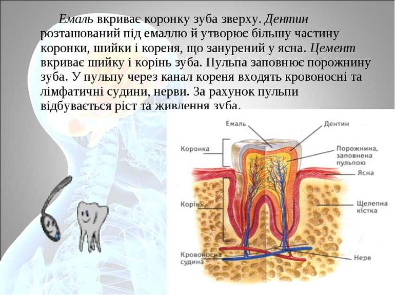 Емаль вкриває коронку зуба зверху. Дентин розташований під емаллю й утворює б...