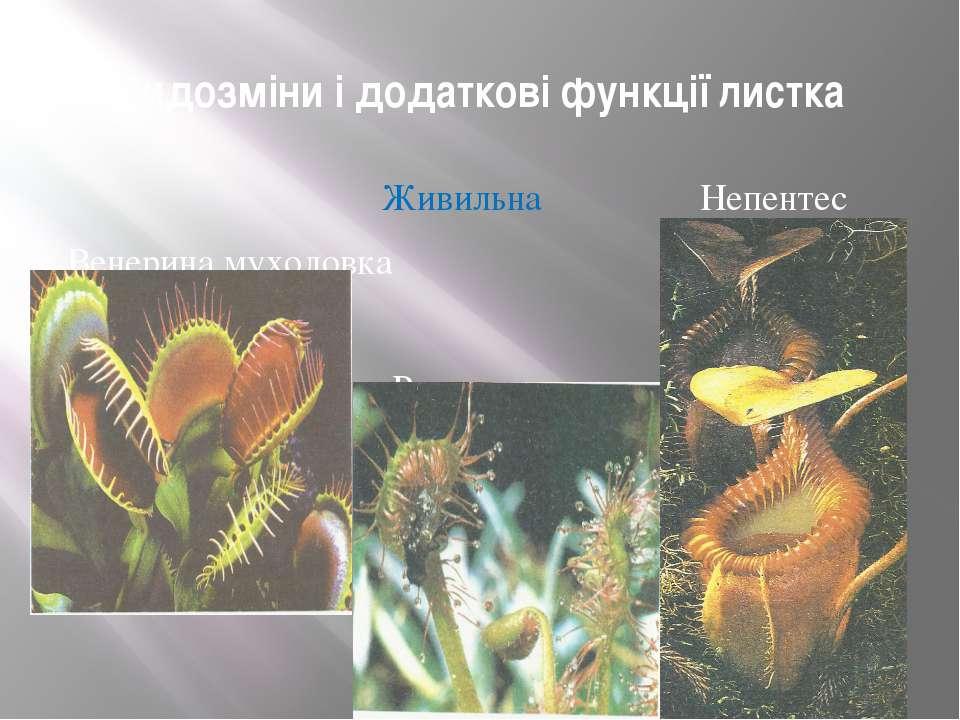 Видозміни і додаткові функції листка Живильна Непентес Венерина мухоловка Рос...