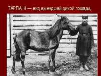 ТАРПА Н — вид вымершей дикой лошади,