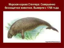 Морская корова Стеллера: Совершенно беззащитное животное. Вымерли с 1768 года.