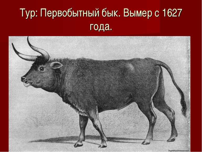 Тур: Первобытный бык. Вымер с 1627 года.