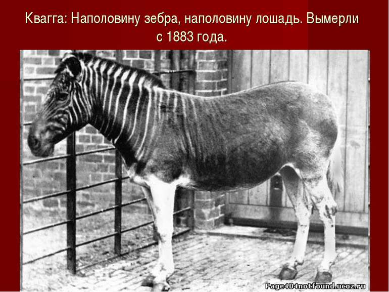 Квагга: Наполовину зебра, наполовину лошадь. Вымерли с 1883 года.