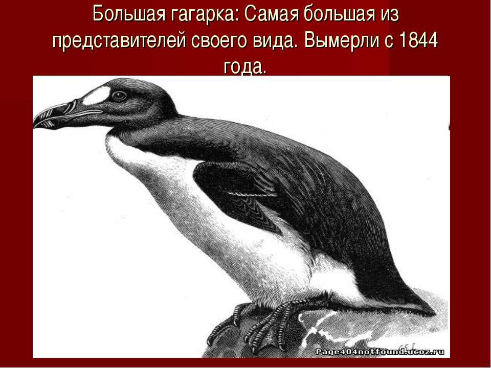 Большая гагарка: Самая большая из представителей своего вида. Вымерли с 1844 ...