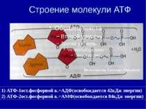 Строение молекули АТФ 1) АТФ-1ост.фосфорной к.=АДФ(освобождается 42кДж энерги...