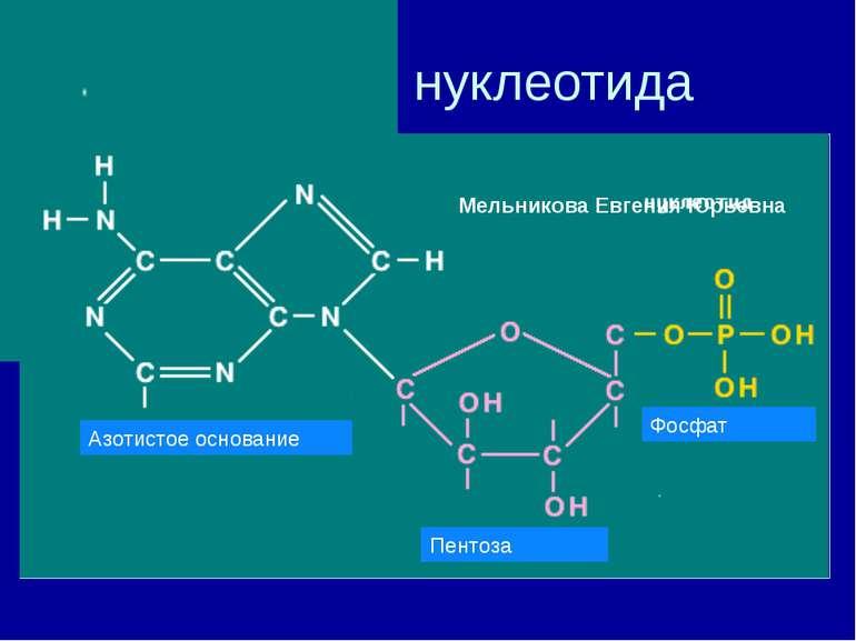 Строение нуклеотида Азотистое основание Пентоза Фосфат Мельникова Евгения Юрь...