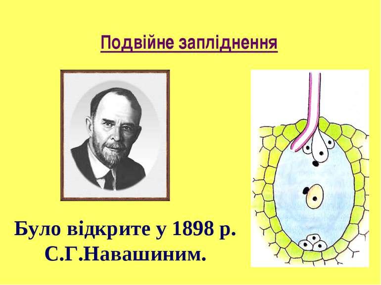 Подвійне запліднення Було відкрите у 1898 р. С.Г.Навашиним.