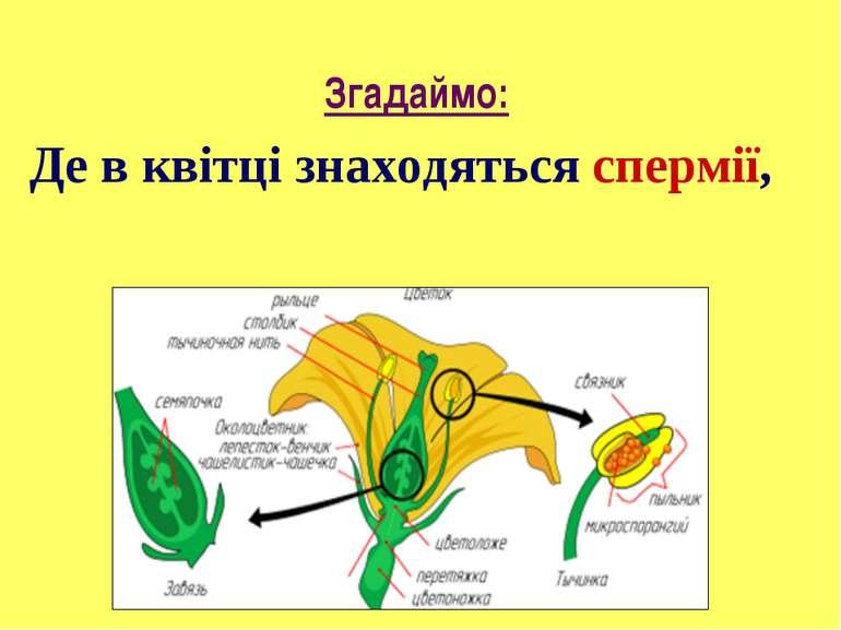Де в квітці знаходяться спермії, а де яйцеклітини? Згадаймо: