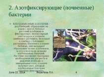 2. Азотфиксирующие (почвенные) бактерии КЛУБЕНЬКОВЫЕ БАКТЕРИИ - род бактерий,...