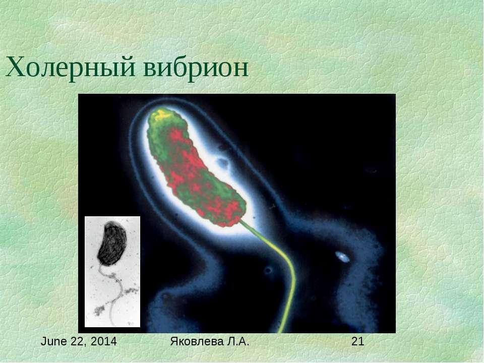 Холерный вибрион Яковлева Л.А.